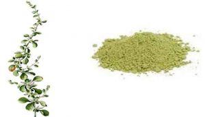 Mountain Knot Grass Powder / Siru Peelai Powder / Pindi Kura / Bili Suli Gida / Gorakh Ganja / Cherupula / Gorakshaganja
